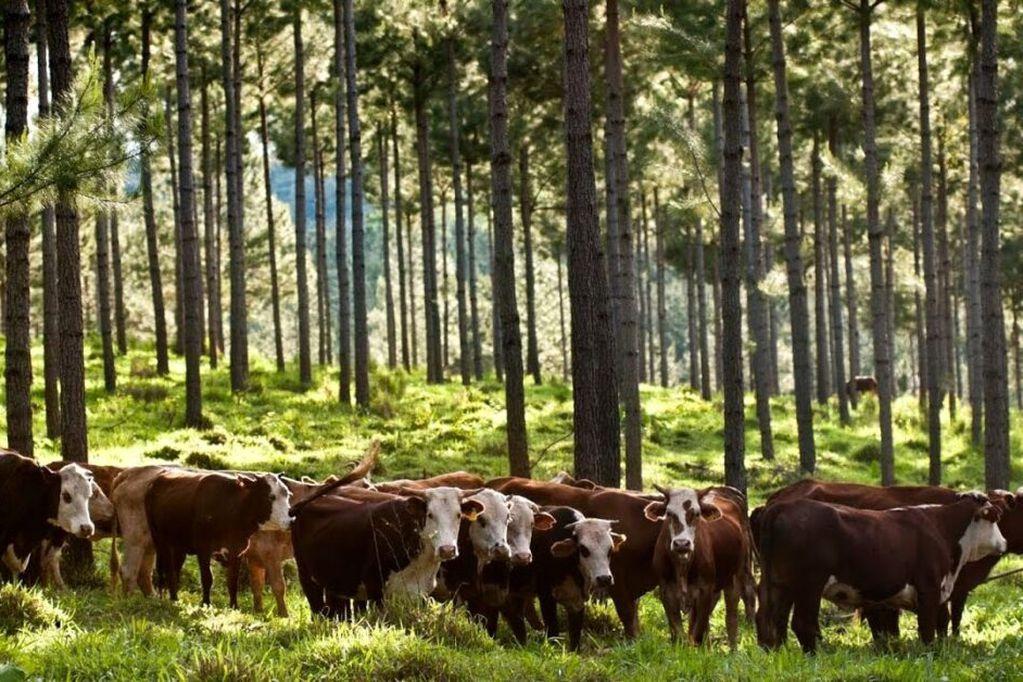 Ganadería y forestación