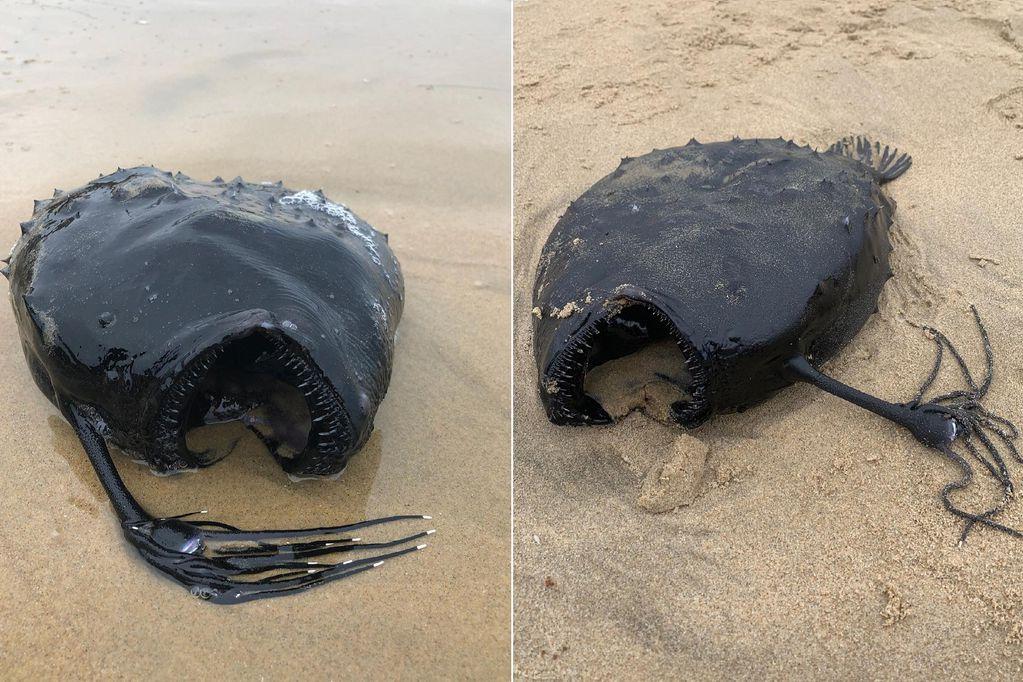 Fotografiaron en una playa de California al horrible pez que vive en el abismo de los océanos
