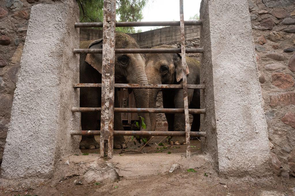 Los elefantes de Mendoza esperan autorización para ir a un santuario en Brasil. Foto: Ignacio Blanco / Los Andes