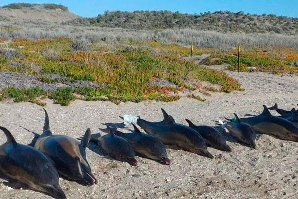 Aparecieron 15 delfines muertos en Río Negro