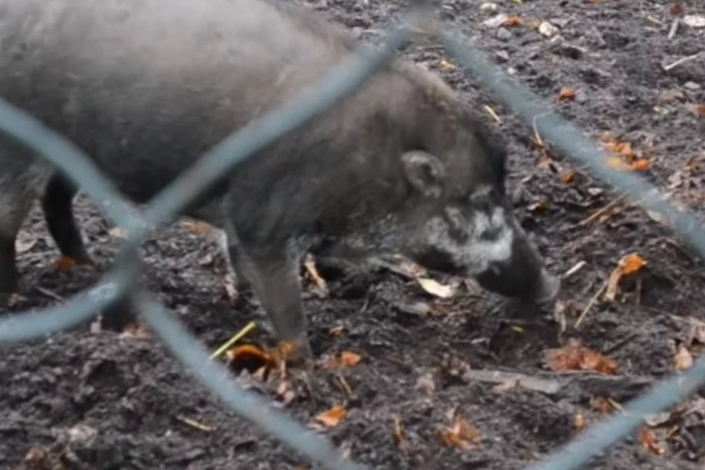 Hallazgo sorprendente: mirá a los cerdos que usan herramientas