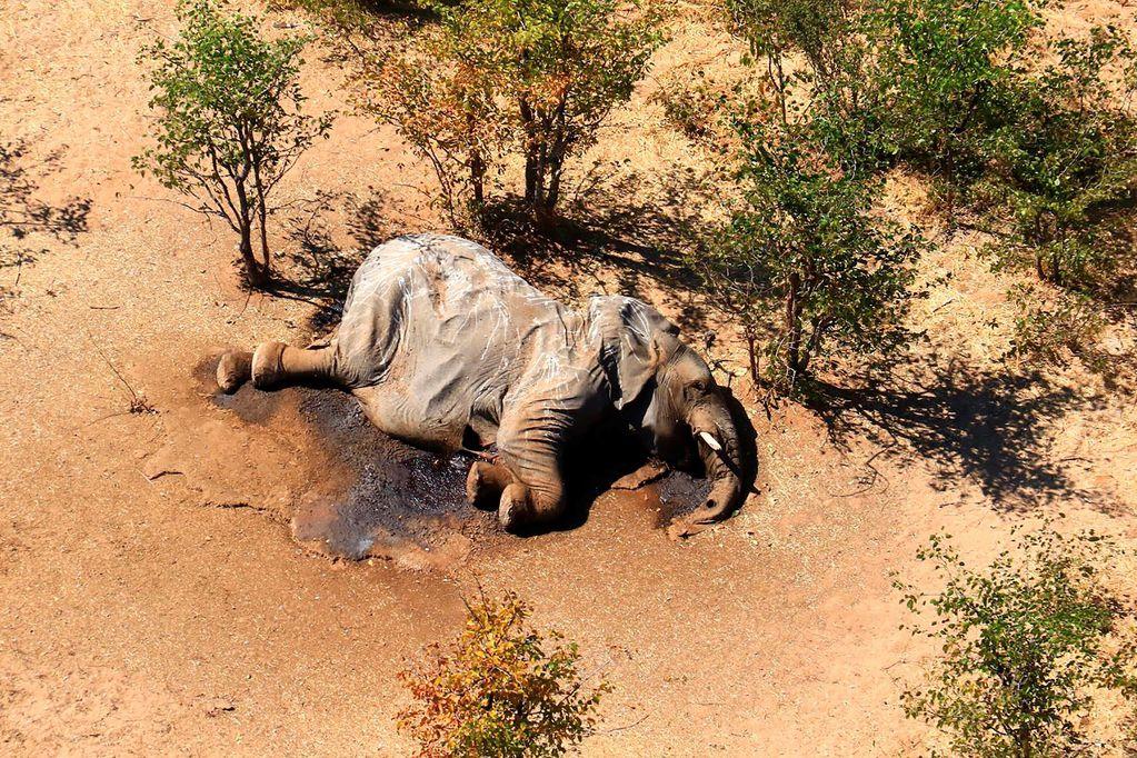 La postal que entristece al mundo: por qué murieron cientos de elefantes en Botsuana