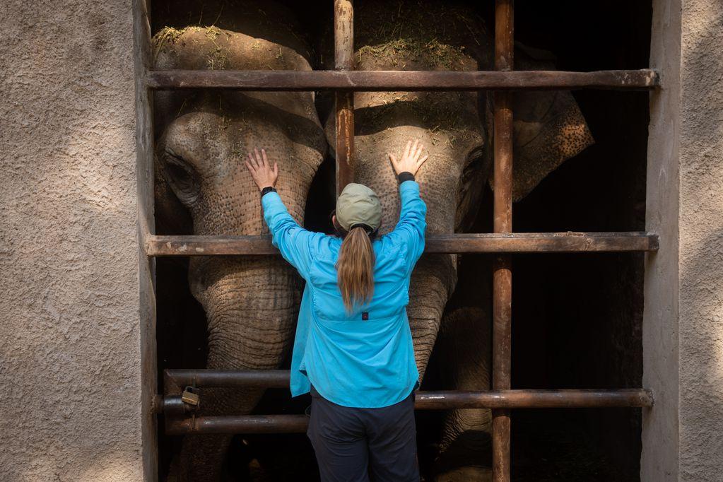 """Así es el entrenamiento de """"Pocha"""" y """"Guillermina"""", las elefantas que dejarán el Ecoparque para partir a una reserva"""