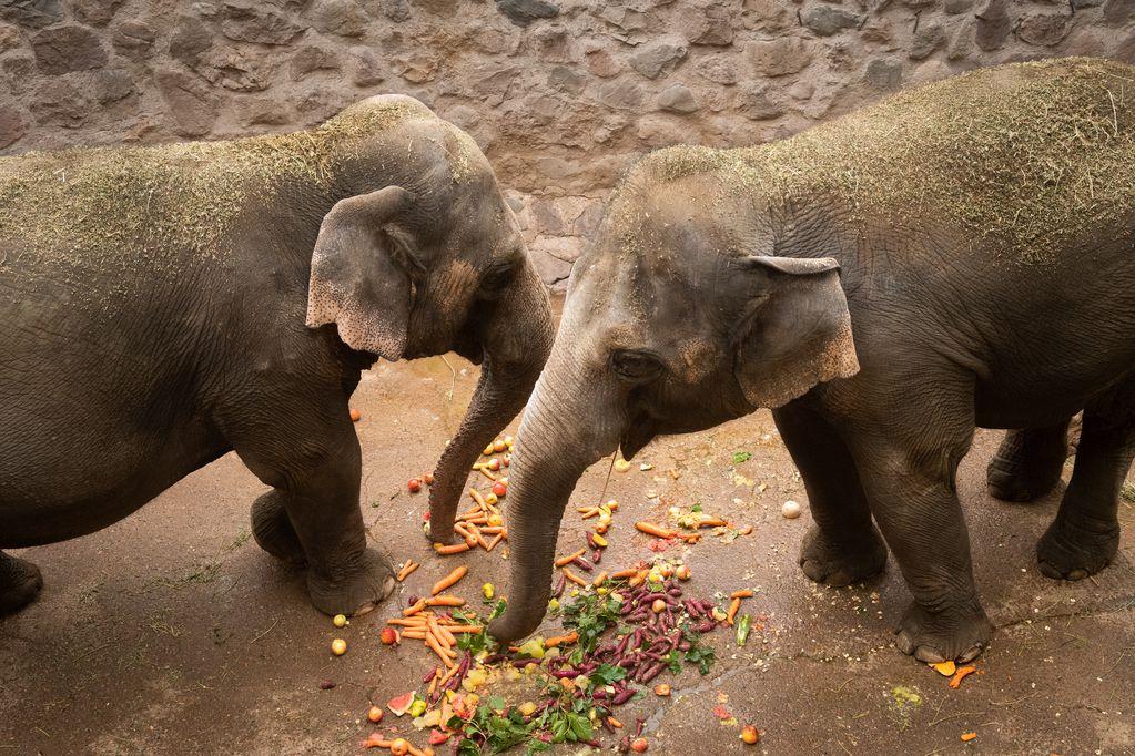 Comenzó el entrenamiento de los elefantes del Ecoparque para su traslado al santuario de Brasil. Foto: Ignacio Blanco / Los Andes