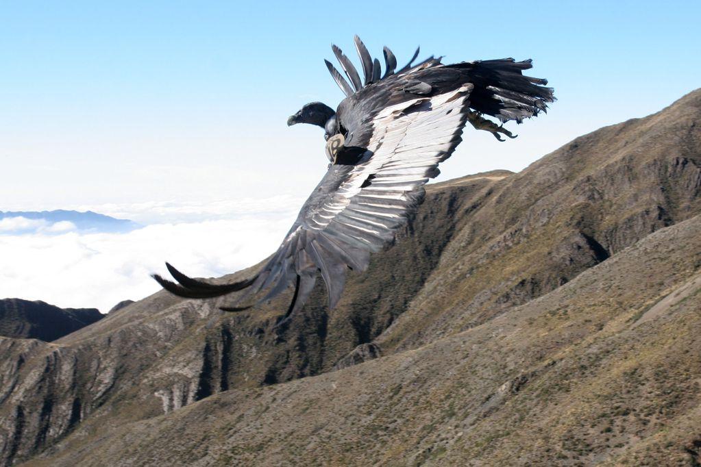 Un parque eólico que proyectan en Chile pone en riesgo de muerte a los cóndores