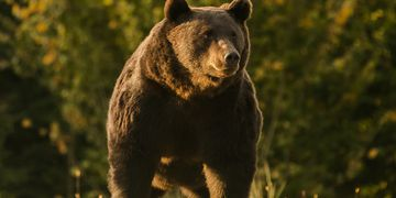 """Horror: un príncipe de Liechtenstein salió de cacería y mató al oso """"más grande"""" de Rumania"""