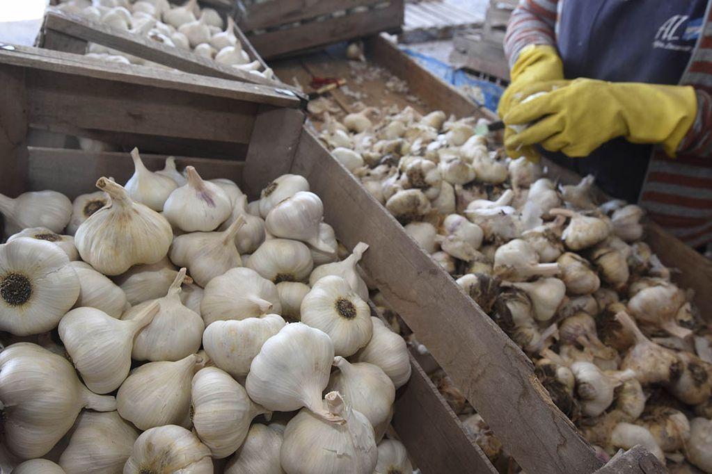 Fertilizar el ajo en septiembre permite saltar de una categoría a otra de mayor precio de exportación. Foto: Gustavo Rogé / Los Andes