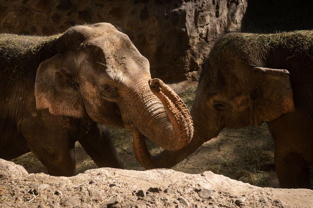 El frío y la cuarentena para argentinos postergan el traslado de las elefantas Pocha y Guillermina al santuario de Brasil