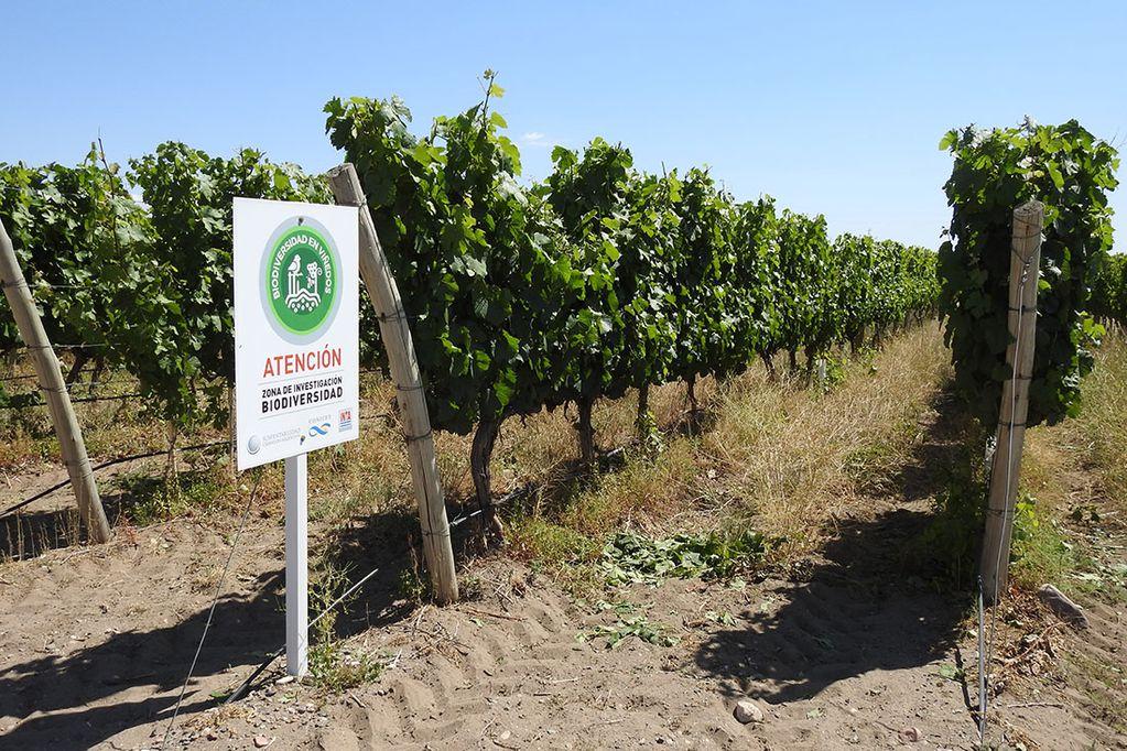 Plantas nativas entre hileras de un viñedo ofrecen beneficios: mejoran el suelo y albergan insectos que ayudan a controlar las plagas. / Guillermo Debandi (Gentileza)