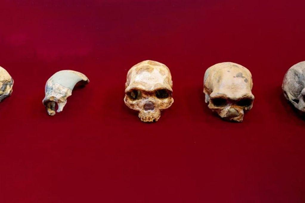 Los restos de los diferentes cráneos humanos que se han encontrado.
