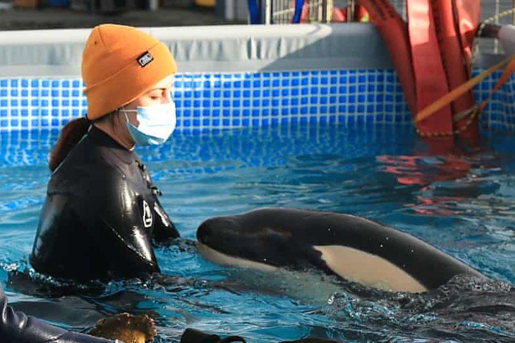 """Murió """"Toa"""", una orca bebé que había sido rescatada en las aguas de Nueva Zelanda"""