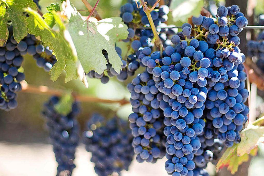 Bonarda: el resurgir de una de las uvas más importantes de Argentina