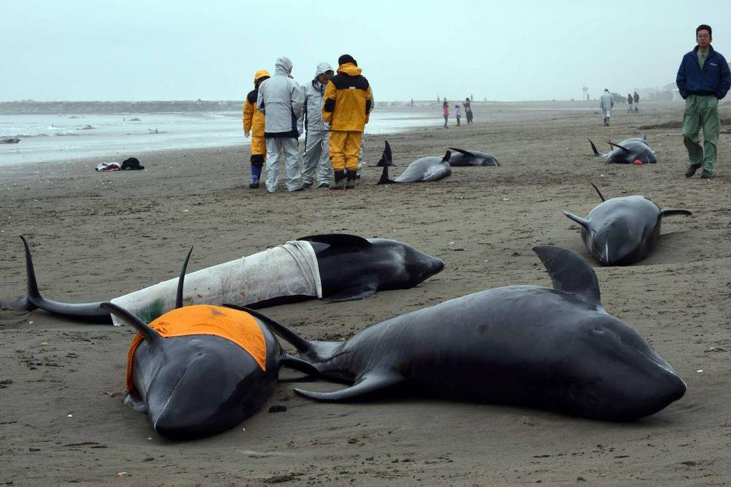 Unos 150 delfines quedan varados en una playa de Japón