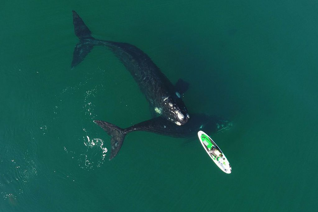 Las ballenas se acercaron a una mujer que navegaba