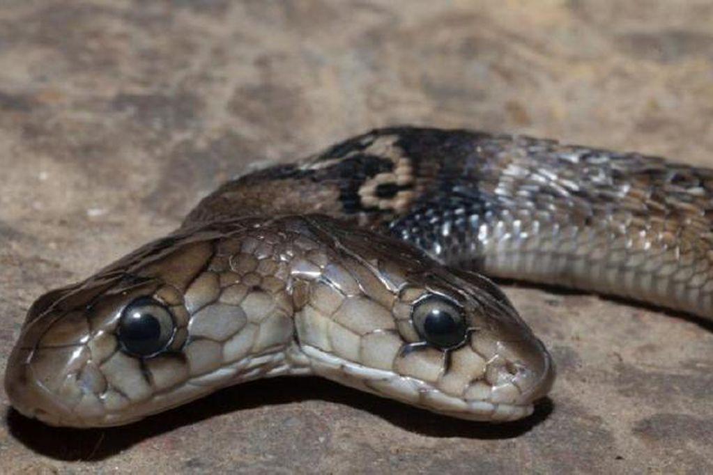 Un grupo de cazadores descubrió una cobra con dos cabezas en la ciudad de Dehradun.
