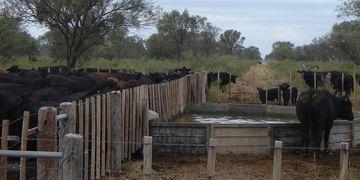 Rodeo de cría en un establecimiento ganadero ubicado en zona de monte en el departamento Cruz del Eje. Algunos ensayos sobre la producción de carne contemplan una intervención mínima sobre el recurso (La Voz).