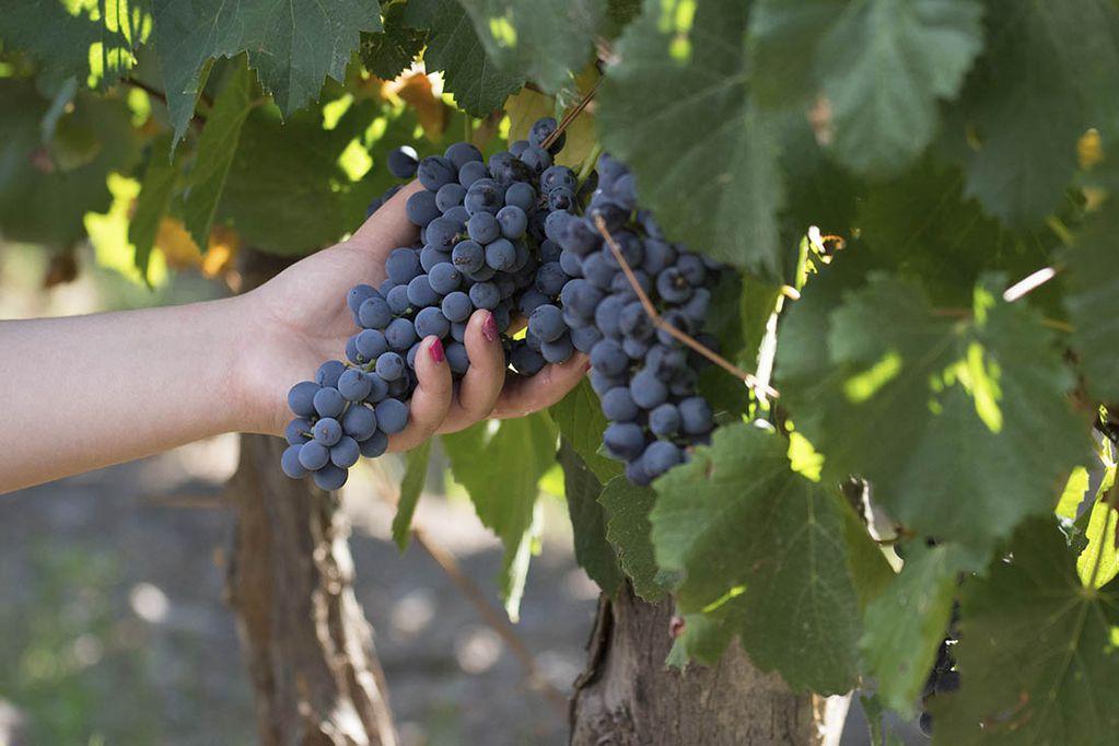 Los expertos advierten que la calidad del Bonarda varía sensiblemente de un viñedo a otro, dependiendo de las características del terruño. / Foto: Ignacio Blanco