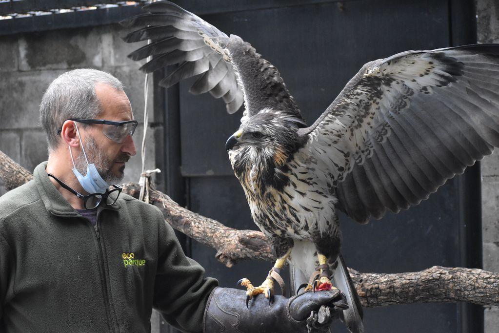 La impactante recuperación del águila coronada que fue encontrada moribunda en Ñacuñán hace tres meses