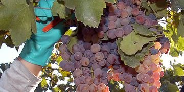 Uva en fresco