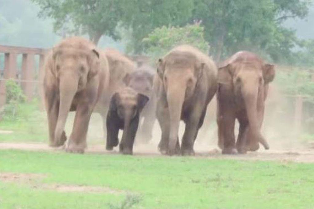 Un cazador furtivo murió aplastado por una manada de elefantes cuando intentaba escapar de una reserva protegida