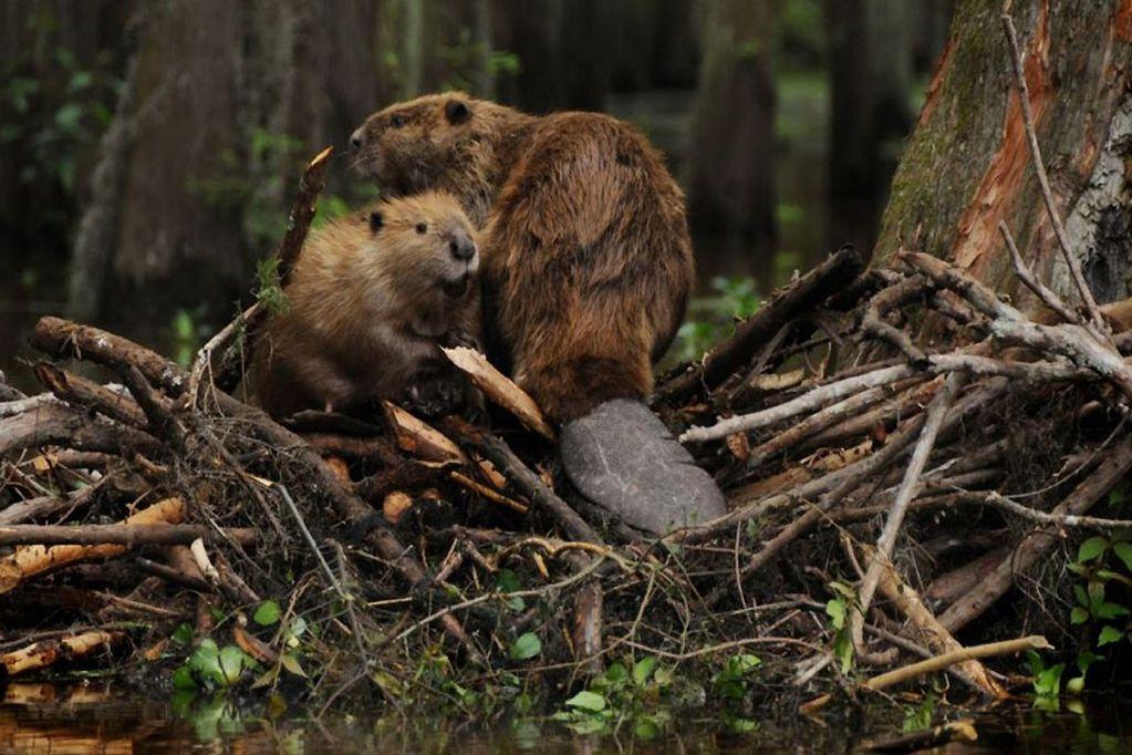 Los castores, al incorporarse a zonas que en principio no les pertenecían, causan diferentes inconvenientes por su fácil reproducción. / Archivo